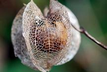 Seedpods