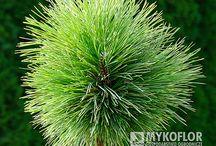 Pinus resinosa - Sosna czerwona