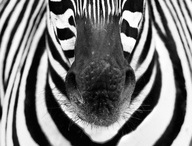 Zebras / Black and white all over ...    At Kawaii Animals we love all animals.  Check out our online store of unusual animal themed toys and gifts.  www.kawaiianimals.com   www.facebook.com/mykawaiianimals   @MyKawaiiAnimals