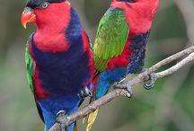 Lorius / Il genere Lorius comprende sei specie di pappagalli di medie dimensioni, appartenenti alla famiglia dei Loridae. Nell'ambito dei Loridae sono comunque gli esponenti più dimensionati, caratterizzati da colorazioni molto accese, variopinte ed appariscenti, con tonalità prevalenti di rosso e di blu.