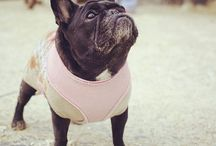 Simply Irresistible: French Bulldogs / What Makes French Bulldogs So Damn Irresistible