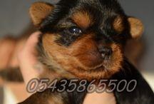 Satılık Yorkshire Terrier / Satılık Yorkshire Terrier http://yorkshire-terrier.yavruilani.com/