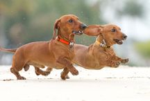 I LOVE DACHSHUNDS... / Dachshunds are by far my favorite dog and pet. Mine is very spoiled! / by Donilee Neeley