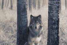 wolfspiration