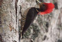 Birds ~ Order Piciformes   Suborder Pici / Barbets: African, American, Asian   Toucan-Barbets   Toucans   Woodpeckers, Piculets, Wrynecks   Honeyguides / by Nancy Shogren