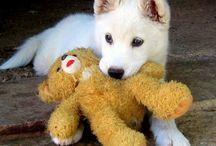 Valkoinen paimenkoira / Ehkä vielä jonain kauniina päivänä meille saapuu tällainen  valkoinen ihanuus! tähän tauluun lisäilen valkoisen paimenkoiran kuvia ja harrastuksia koiran kanssa