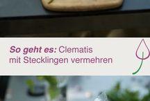 Stecklinge Clematis