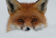Fox Hole / Foxes / by Barb Rufus