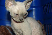 Torunisko*PL / Domowa hodowla kotow rasy devon rex www.devonyork.pl