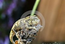Reptiles / Images of Lizards and other reptiles.