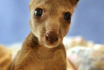 Iconic Australian Animals / The amazing animals of Australia