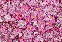 Růže / Růže pro produkty Weleda se pěstuje v Turecku. Rafinovanou vůni růžové řadě od Weledy dodává Rose Absolue, esenciální olej získávaný z damascénských růží.   Každý rok je tu sklizeno přes 600 tun BIO růžových květů, ze kterých je pro Weledu vydestilováno zhruba 1200 kilogramů esenciálního oleje.