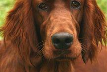 Köpek Türleri / Setter