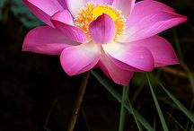 Lotus & Water Lily
