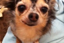 Chihuahua love / by Candice Rogers
