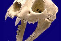 Mountain Lion Skull