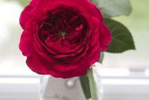 Bridal Roses Red Roses / Varieties of red rose