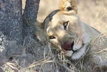 @WildAfricaLive Goup Animal Board / Visit www.wildafricalive.com to view the live map which is updated by users daily.  Please like our Facebook page https://www.facebook.com/africaliveapp?ref=hl We invite you to download our live app for up to the minute sightings.