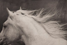 Horses / horses, white horses, equine, horse, love, country living
