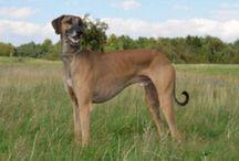 Arabian Greyhound / Arabian Greyhound dog breed pictures