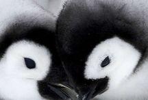 pingoine
