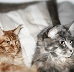 Coon / Cats