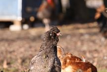 Araucana / Araucana-Hühner gehören zu einer Hühnerrasse, deren Ursprung aus Südamerika entstammt. Das besondere dieser Rasse ist die Eierfarbe die von blau bis türkis geht.
