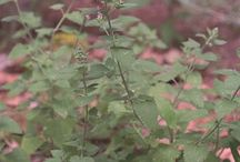 myggefri planter