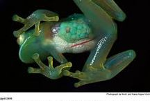 Exotic Amphibians / At Froglife we don't just love our own native amphibians but also those from around the world!