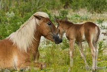 Gladys L Buzzell Photography / Shackleford Banks newest little pony. Be sure to check for more photos on website: http://moosetique.com/shackleford-banks-ponies/