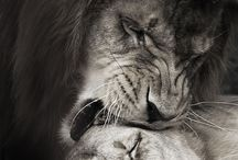 Adorable lions  True Love...
