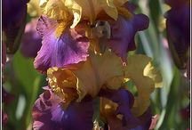 My favourite flower...irises