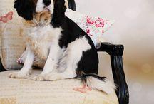Cavalier King Charles / My favorite breed, hands down!!