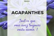 agapanthes