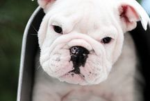 English and French Bulldog / Meet The English Bulldog With The Most Amazing Face