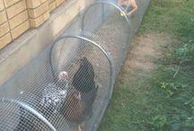 lapins poules
