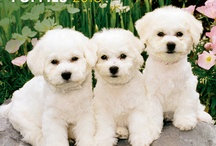 Little white dogs