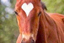 cavalli .