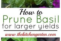 Basil&(Parsley, Sage,Rosemary, thyme--the ones I cook with)
