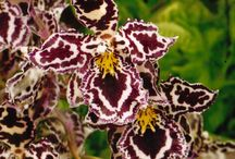 Odontoglossum Cambria - Enrico Orchidee Albenga / Odontoglossum - Cambria by Enricoorchidee