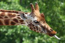 Zeela the Giraffe Astronaut-Ideas / by Samantha McMullen