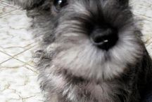 Do It  ::  Pet Care / This is anything doggy!  Mini-schnauzers, beagle-harriers, and doggy ideas and humor!  I am a fuzzy baby momma!! / by Kimberly Doran Alderson