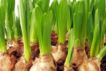 Indoor Gardening / Gardening isn't just for outdoors. Includes tips on bulb forcing for flowers all year round.