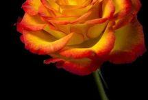 Güller ve çiçekler