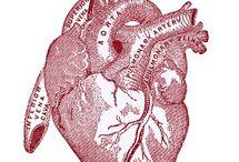 coeur organe