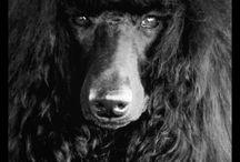 Poodles / by Belora Bryant