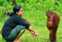 orangután / orangutan
