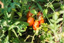 Lebensmittel Steckbriefe / Lebensmittel im Überblick, wo werden sie botanisch zugeordnet, welche Wirkung im Körper haben sie aus Sicht westlicher und chinesischer Ernährungslehre; Zubereitungstipps, TCM, gesunde Ernährung;