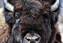 Bison oxe