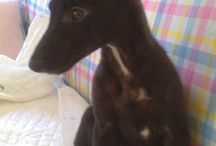 Nelson, a galgo puppy needs our help.